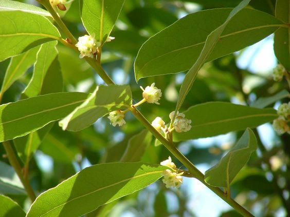Flowering bay laurel tree laurus nobilis is an aromatic evergreen tree or large shrub with green - Cook bay leaves ...