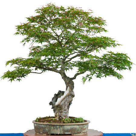 acer palmatum als bonsai bonsai b ume pinterest bonsai und im freien. Black Bedroom Furniture Sets. Home Design Ideas