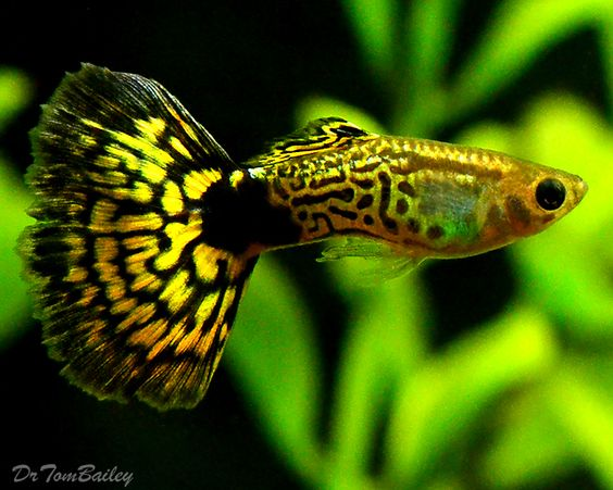 A young mature male green cobra guppy to see more click for Guppy fish care
