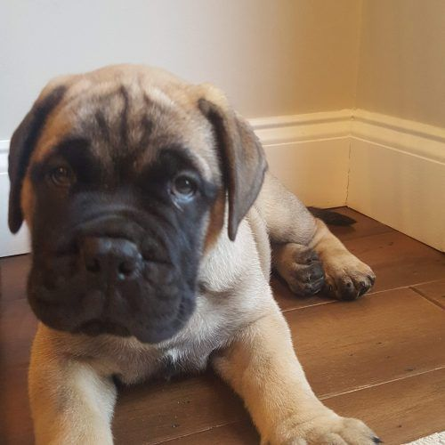Mr Green A Handsome Bullmastiff Vip Puppies Works With