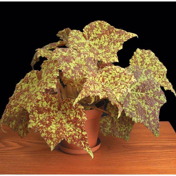 Begonia 'Marmaduke' (Begonia rhizomatous hybrid) - Rhizomatous Begonias - Begonias: