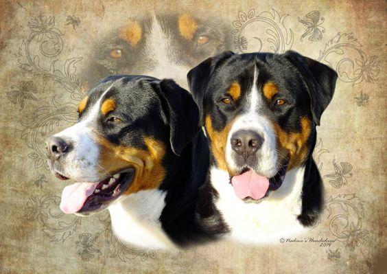 Großer Schweizer Sennenhund Tiercollage