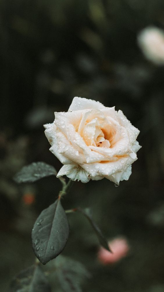 45 Beautiful Roses Wallpaper Backgrounds For Iphone In 2020 Rose Wallpaper White Roses Wallpaper White Roses Background