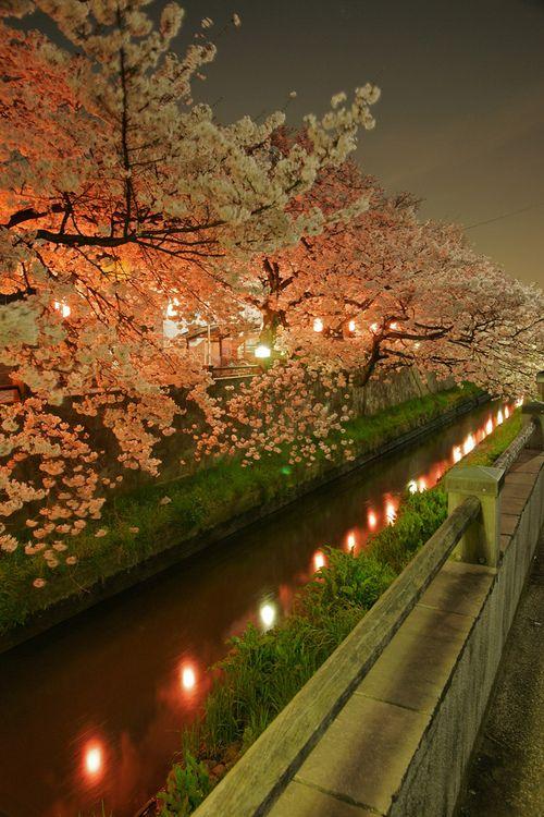 The Cherry Blossom Trees At Night, Ichikawa, Chiba Prefecture by yokoyama