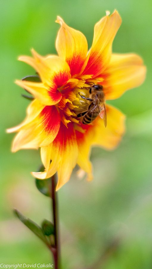 The Bee and the Flower by David Cakalic, via 500px