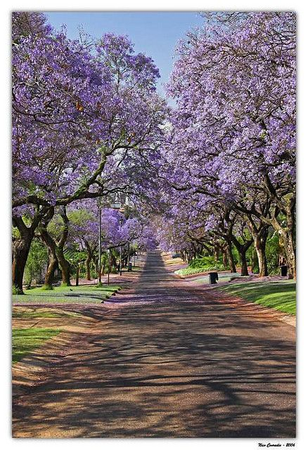 Jacaranda Infinity posted at Flickr by jnconradie