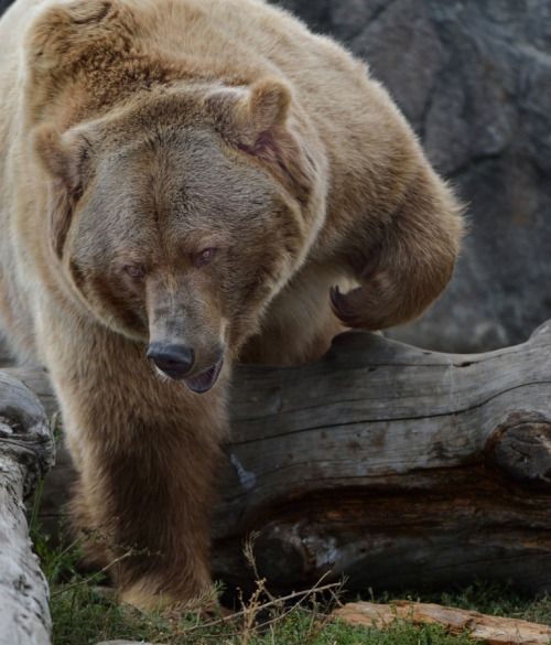 Grizzly by Steve Ross