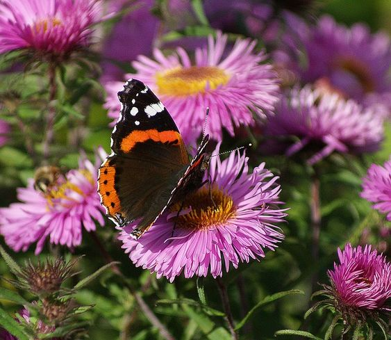 Papillon, Astra, Rusalka, Jardin, Nature