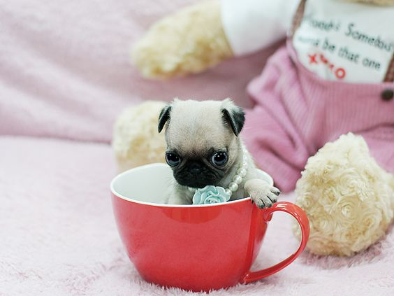 Precious Teacup Pugs Available At Boutiqueteacuppuppies Com