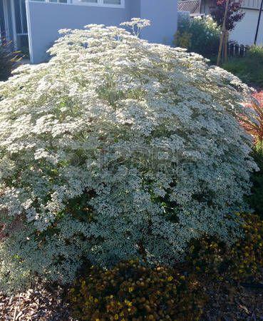 Eriogonum giganteum, pizzi Santa Caterina s, emisferica arbusto sempreverde con foglie grigie ovali e piccoli fiori bianchi che coprono l'intero cespuglio photo