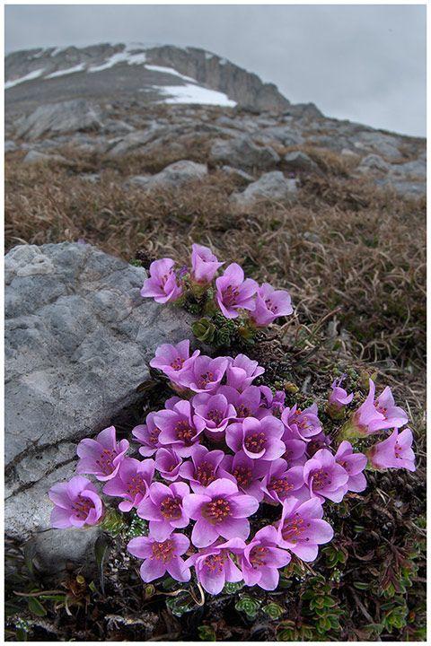 Saxifraga oppositifolia, fiori di montagna, alpini, fotografia, foto, alpine flowers, alpi liguri  <3
