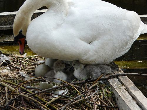 Mother Swan & Newly Hatched Cygnets on Surrey Water, London SE16 @ 5 May 2008 by Kam Hong Leung on Flickr.
