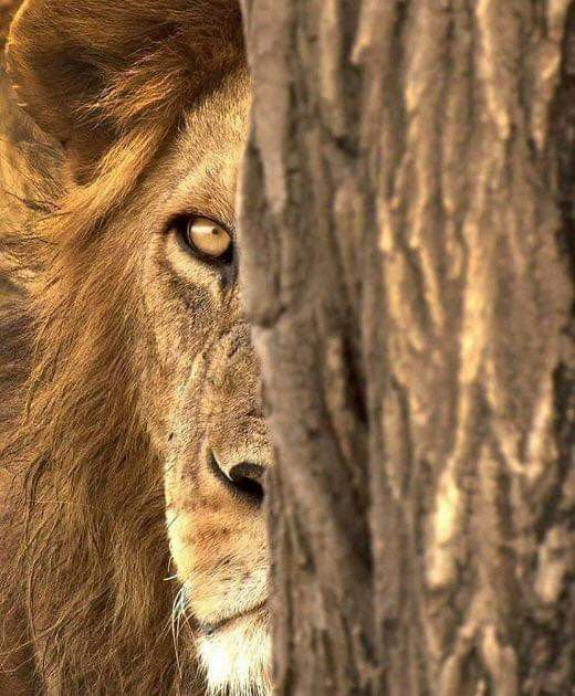 Pin By Toto Toto On اسد Lions Animals Animals Beautiful