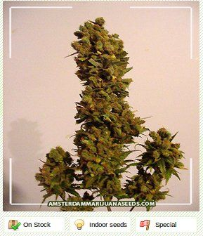 Skunk Red Hair - Amsterdam marijuana seeds