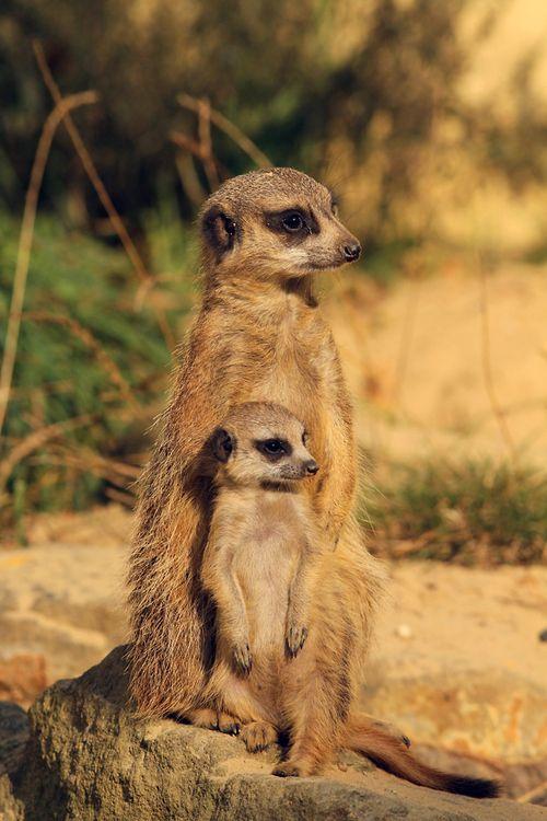 Meerkats (by Henk Bentlage)
