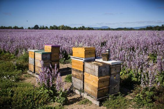 Los apicultores tratan de mantener las abejas - y los medios de vida - se extingan - The Washington Post