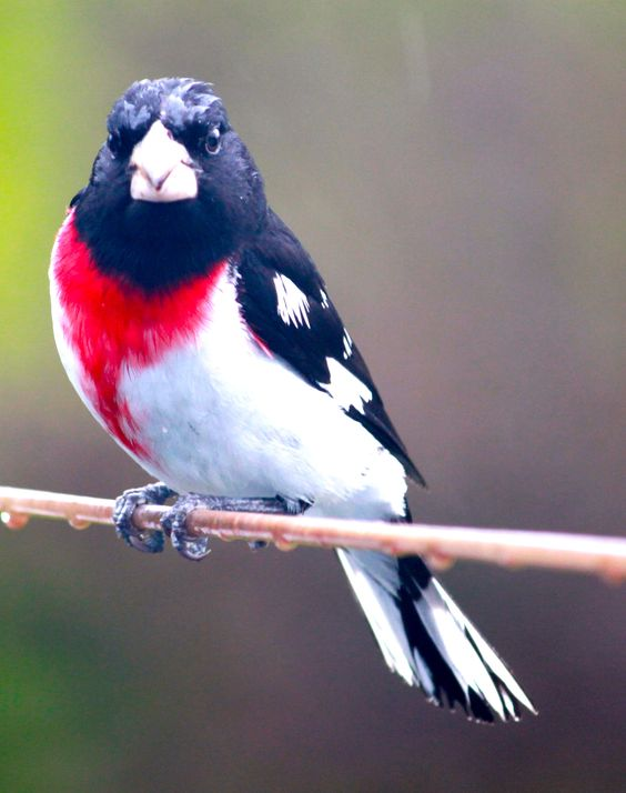 Wow! A patriotic looking bird!! Male rose-breasted grosbeak - red/white/blue