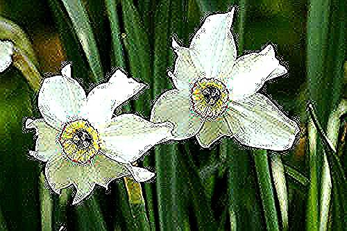 Narcise In 2020 With Images Yellow Cups Narcissus Petals