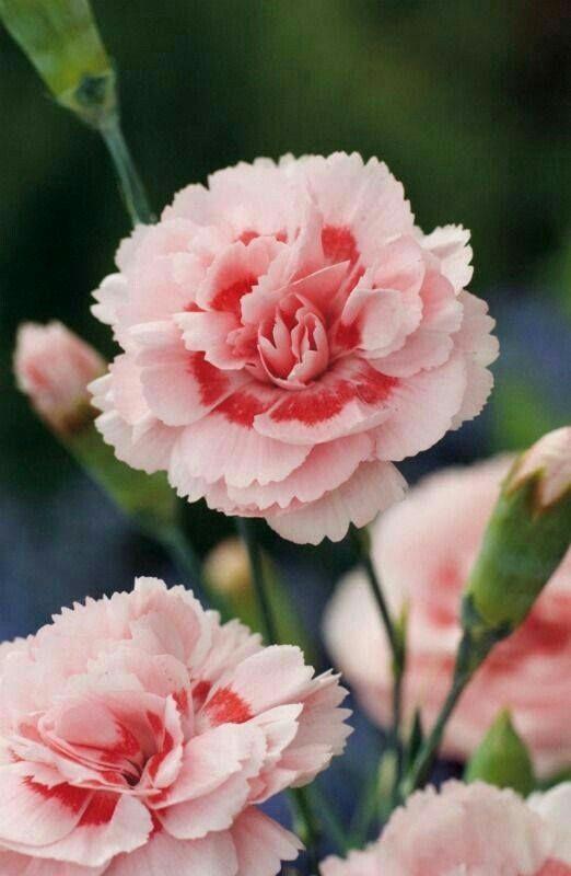 Pin Von Joyce Maas Alexander Auf Kwiaty Nelken Blumen Blumen Pflanzen Rosa Nelken