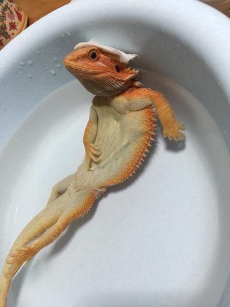 入浴するかわいいトカゲの壁紙