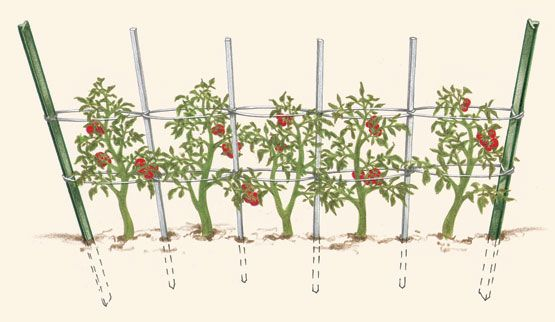 Florida weave  This staking option works well when growing many tomato plants. Twine is woven around wooden stakes to support unpruned plants as they grow. Steel T-posts at the ends of the row hold the temporary structure in place. A good system for either determinate or indeterminate tomatoes.