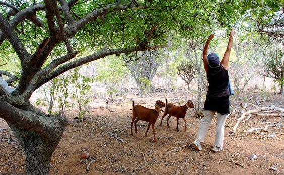 """NG - No sertão da Bahia, a colheita do umbu acontece em áreas conhecidas como """"fundos de pasto"""""""