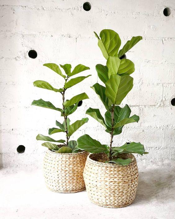 Ficus Lyrata - (J'ai - 2018)