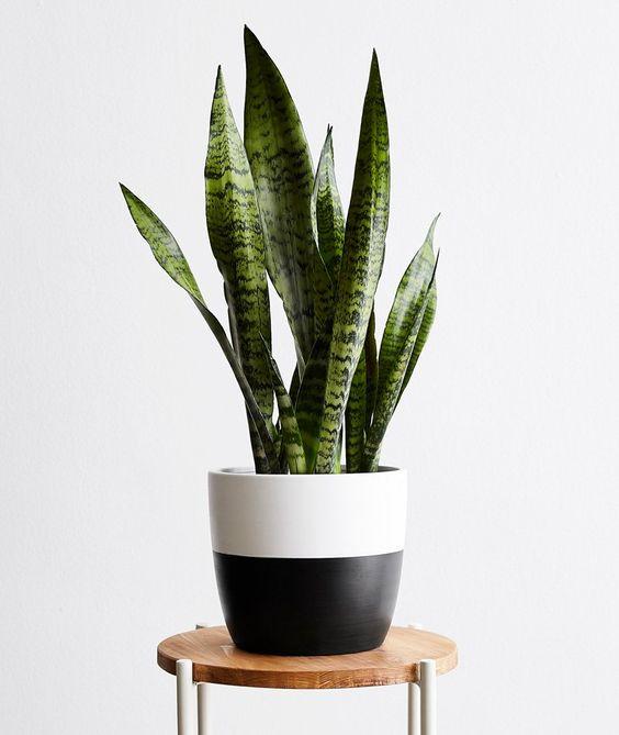 A snake plant.