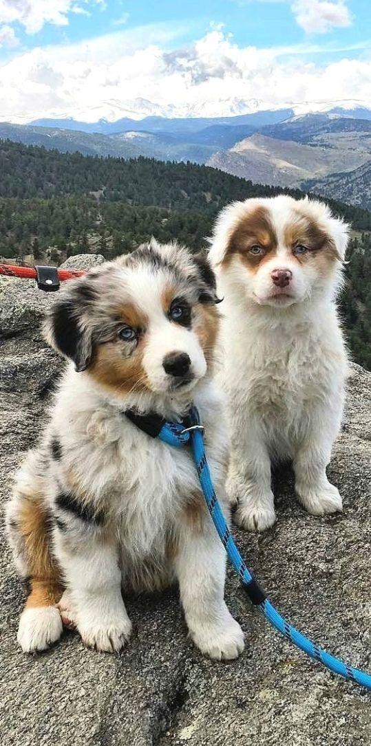 Australian Shepard And Siberian Husky Australische Schaferhunde Aussie Welpen Sibirischer Husky