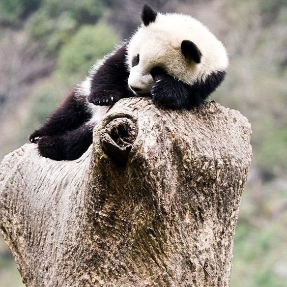 Pandas sleep for about 10 hours a day, but only for 2 to 4 hours at a time - Courtney | explore.org/pandas