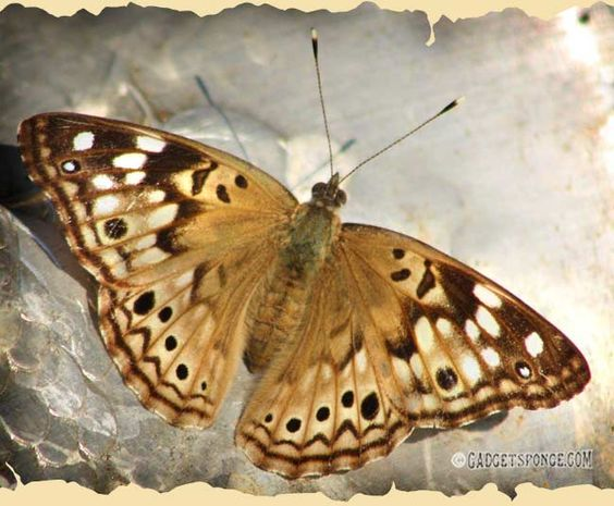Emperor Leilia Butterfly by GadgetSponge.com