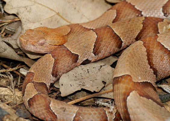 Copperhead Snakes Have A Distinctive Hourglass Shaped Pattern Snake Snake Facts Beautiful Snakes