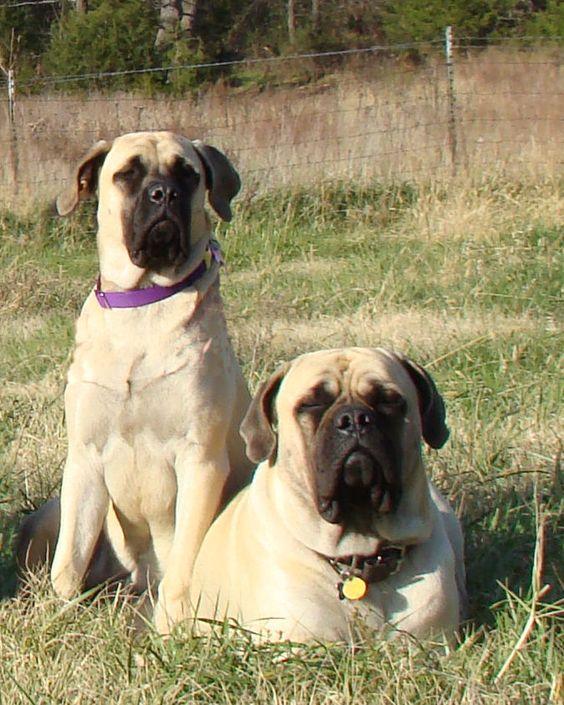 BLD -English Mastiffs