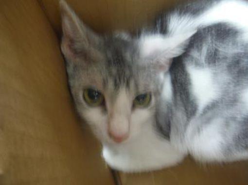 Urgent Kill Shelter Fort Worth Tx Domestic Shorthair Meet 39610088 A Cat For Adoption Cat Adoption Kitten Adoption Cats