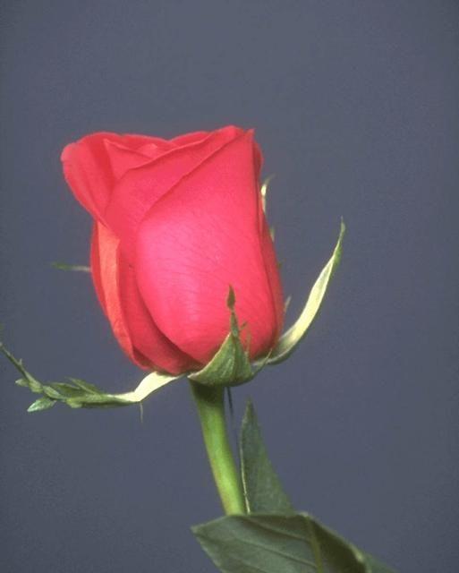 صور ورود متحركة رومانسية 2013 صور وردة حمراء جميله 2013 اجمل صور خلفيات ورود 2013 Red Roses Iphone Wallpaper Rose
