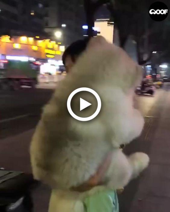 Enorme cachorro malamute é carregado como um bebê