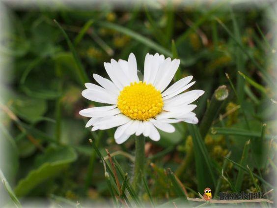 Der Frühling kommt in den Garten. Hier ein Gänseblümchen.