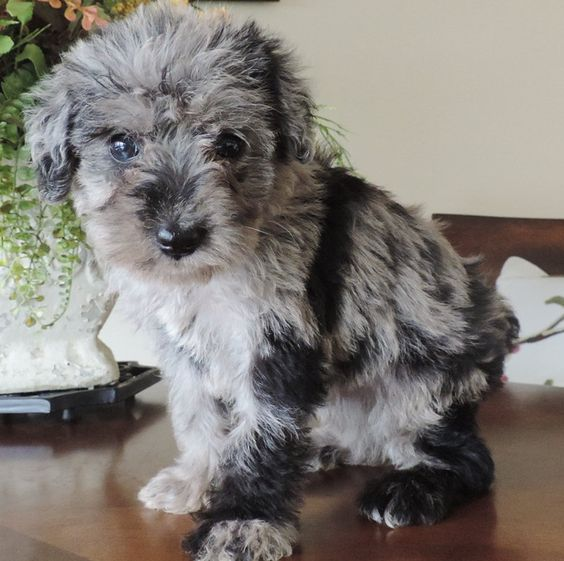 Labradoodle puppies for sale, Labradoodle breeders, Bordoodle Puppies | Schnoodle Puppies