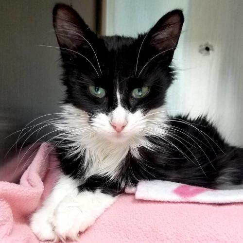 Hi I M Rose I M A Young Spayed Female Black And White Domestic Medium Hair Feline Leukemia Animals Cat Adoption