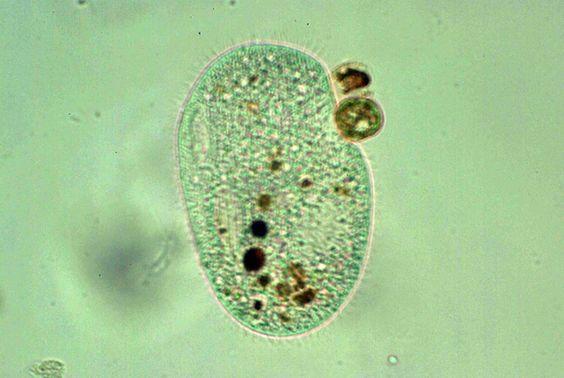 Ciliados: Estes seres vivos pertencem ao filo Ciliophora. Podem viver na água ou como parasitas na parte interior do corpo dos animais. São protozoários que se locomovem por meio de cílios, por conta dos inúmeros cílios presentes em sua superfície são mais rápidos que os flagelados. São heterotróficos porém estimasse que um terço deles sejam ectodérmico ou parasitas. Em algumas espécies de ciliados, os cílios também são usados para a ingestão de alimentos.