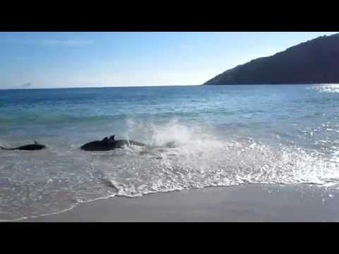 30 beached Dolphins saved by Brazilian beach goers. #gooddeeds