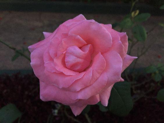 Rosa aberta