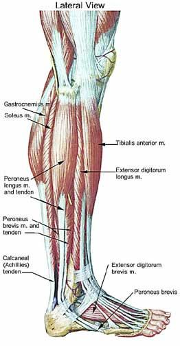 leg muscle and tendon diagram - Google Search: