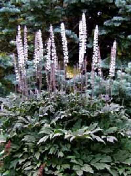 Cimicifuga ramosa 'Brunette' (Actaea ramosa 'Brunette