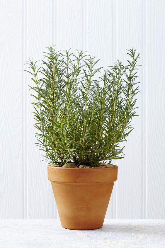 Growing Rosemary Plants Indoors