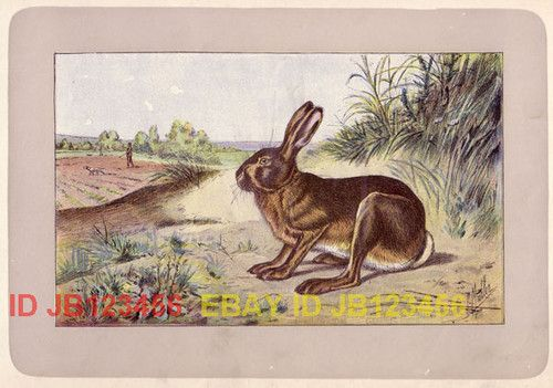 Rabbit Wild Hare RARE Antique 100 Year Old French Animal Print | eBay