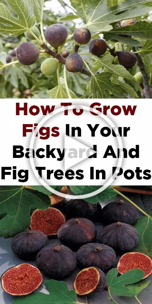 Top 10 Fruits To Grow In Containers Top Fruit Plants Fruit Trees Naturebring Containers F Container Gardening Fruit Fruit Tree Garden Potted Fruit Trees