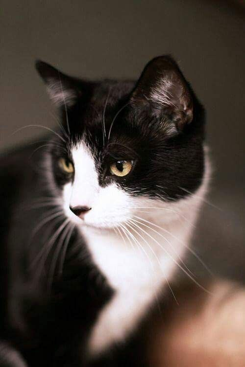 Gorgeous Black White Cat Cats And Kittens White Cats Cats