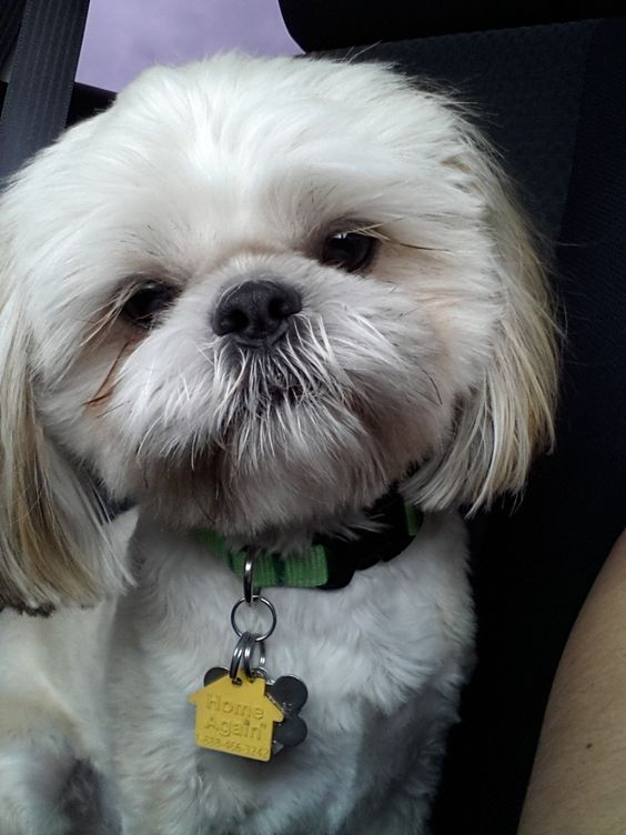 angelbaby shih tzu shih tzu angel and faces on pinterest 6802