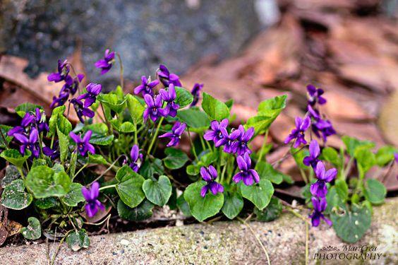 Viola canina: In My, My Garden, Flower